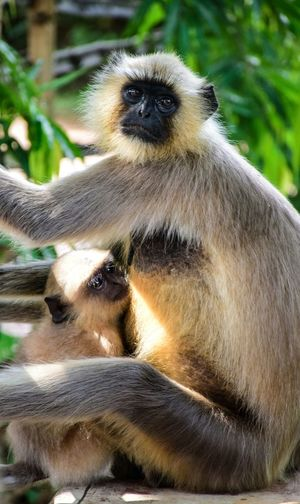 Portrait of langur with infant sitting on retaining wall