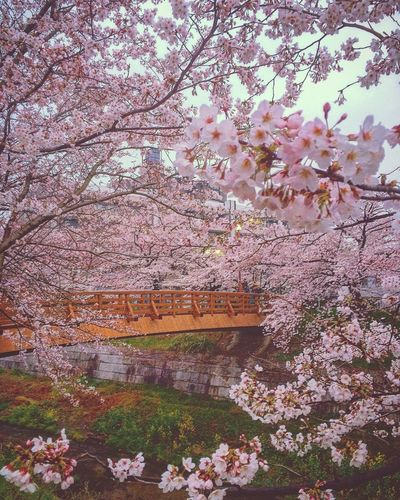 Urban Spring Fever Cherry Blossoms Blooming Pinkyspring Bloomy Days Flower Curtain Ultimate Japan