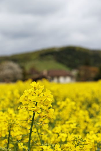 France Paint The Town Yellow Beauty In Nature Field Flower Focus On Foreground Giverny No People Oilseed Rape Rural Scene Tranquility Yellow Lost In The Landscape Perspectives On Nature