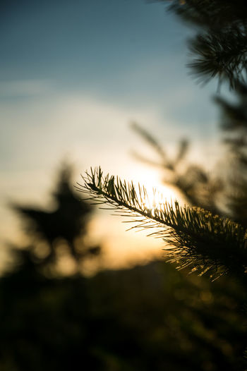 Close-up of pine tree against sky during sunset
