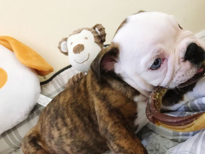 Dog Pets One Animal Cute♡ English Bulldog Cute Dog