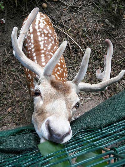 Biche Faon Bambie Animal Animal Themes Animal Photography Fawn Doe Deer