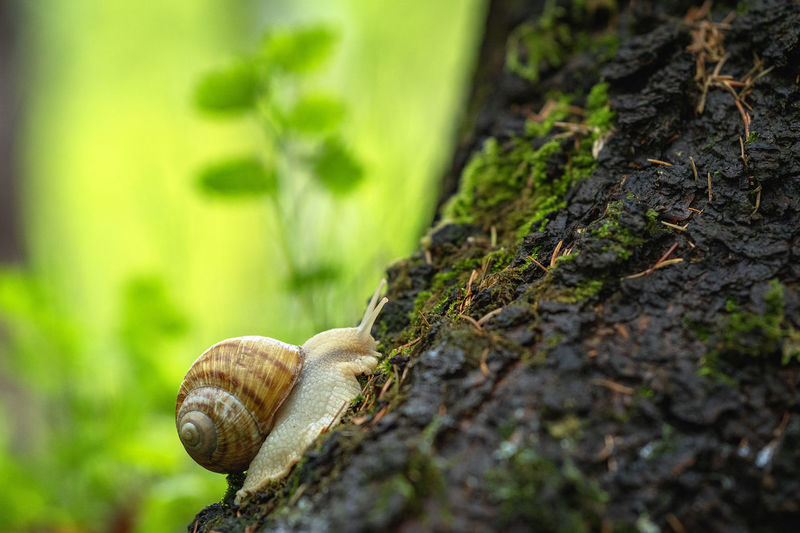 Never stop exploring, snail in a forest, macro photography of a snail Animal Wildlife Animal Themes Animal Animals In The Wild Gastropod Invertebrate One Animal Mollusk Snail Close-up No People Tree Trunk Nature Tree Trunk Selective Focus Focus On Foreground Shell Day Plant Outdoors Crawling Small
