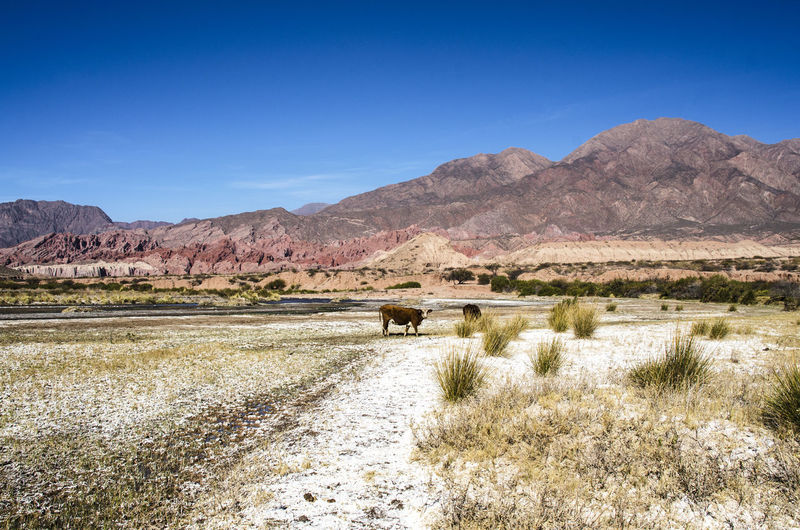 Andes Nature Peace Salt Travel Argentina Clear Sky Cow Environment Mammal Mountain Nature No People Rock Sky Space Tranquility