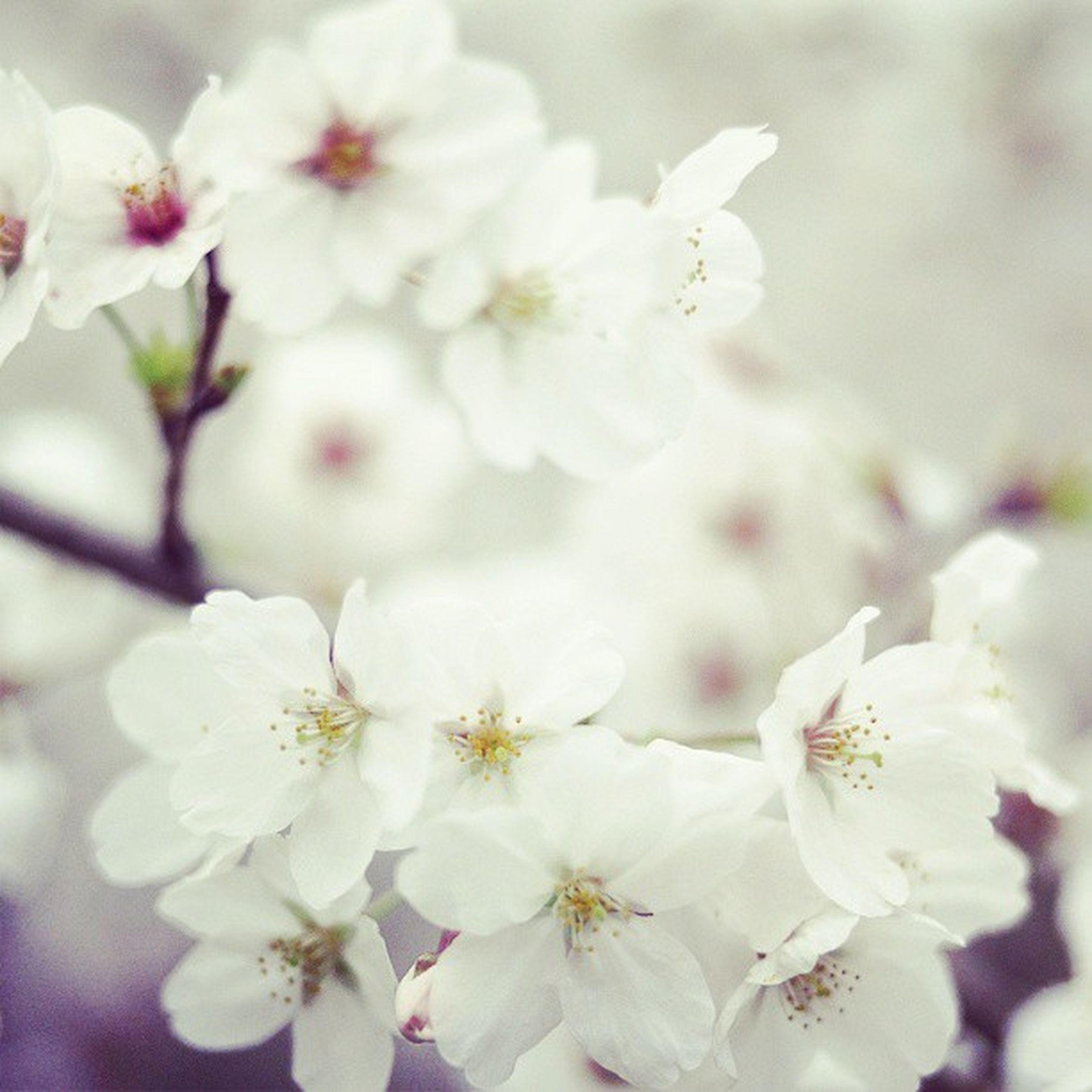 flower, freshness, fragility, growth, petal, white color, beauty in nature, cherry blossom, focus on foreground, flower head, nature, close-up, blossom, blooming, in bloom, stamen, cherry tree, tree, branch, springtime