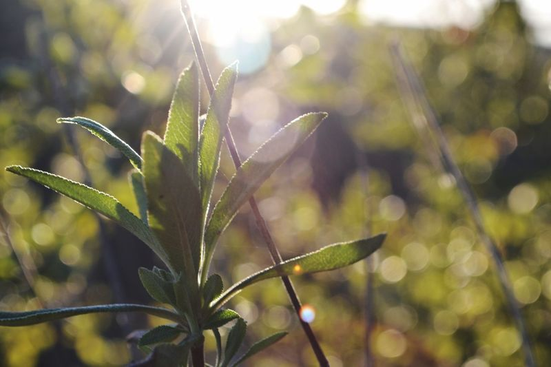 Bokeh Plant Growth Focus On Foreground Beauty In Nature Nature Close-up Green Color Leaf Day Plant Part No People Sunlight Tranquility Outdoors Lens Flare Field Plant Stem Land