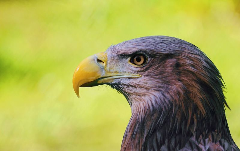 One Animal Bird Animal Themes Bird Of Prey Close-up Focus On Foreground Animal Body Part Looking Away Animal Head  Eagle Bald Eagle Nature_collection Naturelovers Birds Of EyeEm  Profile View