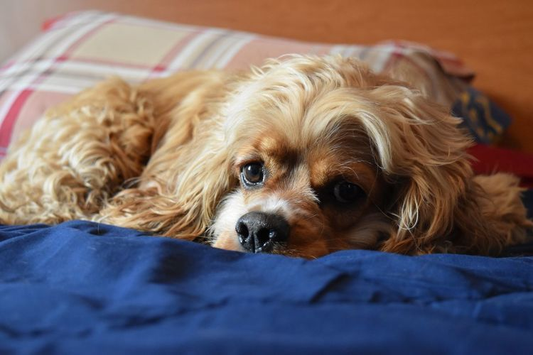 My dog Paddy relaxing on my bed! :) At Home Best Friend Brother Close-up Cockerspaniel Companion D5000 Digital Photography Dog Dogs Of EyeEm Fitzsphotos Freckles Good Vibes Innocence Irish Loyalty Nikon Paddy Pets Portrait Relaxation