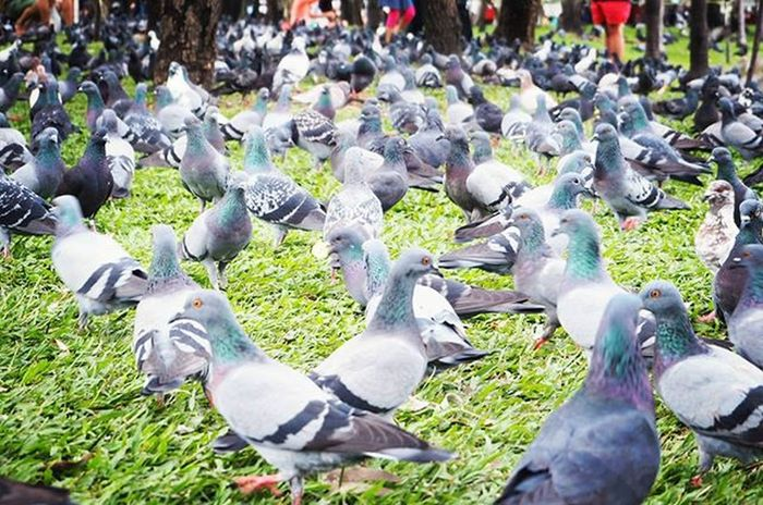 Pigeon Birds Jjmarket Jjmarketthailand Thai Thailand Thaifruit Thaifruits Travels Travelthailand Olympuspenepl7 Olynpusepl7 Olympuspic Oly Olympics Penepl7 Epl7photo Epl7 Olympusphotography Mirrorlesscamera Mirrorlessphoto Mirrorless Olympusmirrorless