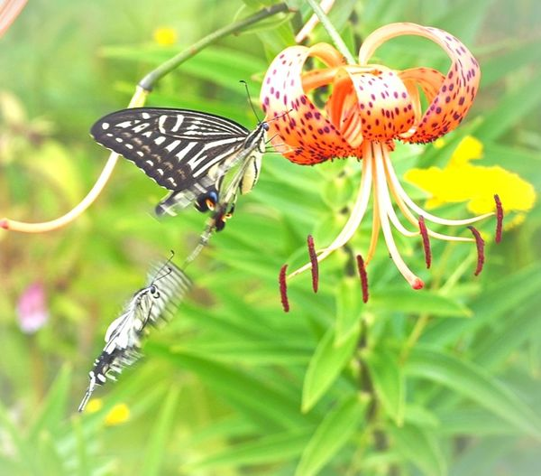 一緒がいいな… キアゲハ オニユリ Butterfly - Insect Butterfly Collection Insect On A Flower Insect Photography Insect Collection Insects Beautiful Nature Flower Collection EyeEm Nature Lover EyeEm Best Shots Eyemphotography EyeEm Gallery EyeEm Best Shots - Nature