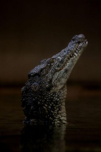 Nile Crocodile Reptile One Animal No People Crocodile Reptile Animal Wildlife Nature Natgeowild Mammal Beauty In Nature Wildlife Wild Nature Water