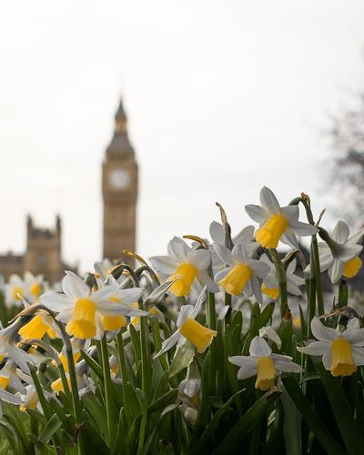EyeEm Selects Big Ben Spring Flower Petal Fragility Blooming Architecture Beauty In Nature Built Structure Building Exterior Nature Plant Freshness Growth Flower Head Clock Tower Outdoors Day Travel Destinations No People Sky Close-up London Big Ben Daffodils Narcissus