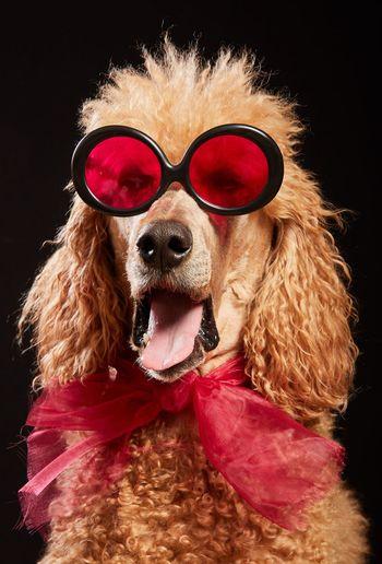 Portrait of dog wearing sunglasses