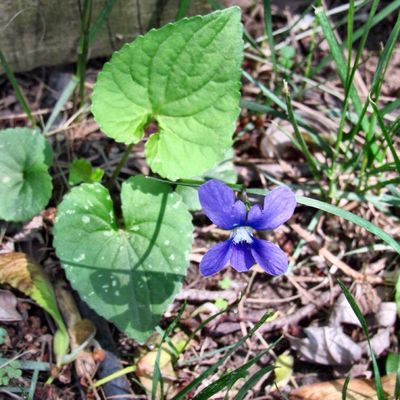 Violets are my favorite she told me as a child & so would go & gently pluck them from the wild. Remembering mom💜 Plant Leaf Growth Beauty In Nature Flower Close-up Purple Flowering Plant Vulnerability  High Angle View