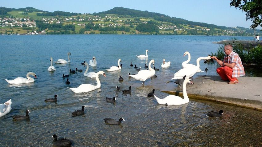 Schwan  Schwäne Schwanenfamilie Swan Swans Swans ❤ Swantastic Swan Series Klimpi-klimperator KLIMPI KLIMPERATOR