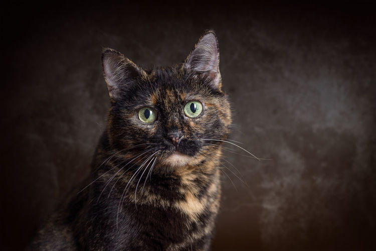 Domestic Tortie Cat in front of dark Background Cats Of EyeEm Animal Themes Cat Cats Close-up Day Domestic Animals Domestic Cat Feline Indoors  Looking At Camera Mammal No People One Animal Pets Portrait Siamese Cat Whisker