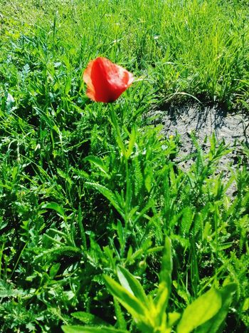 Loneliness Red Nature Grass Green Color Growth Field Beauty In Nature No People Outdoors Poppy Redpoppy Flower Beauty In Nature Nature Hungary Power In Nature Hungarian_photographers Beautiful Green Grass Poppy Flower Poppy Love