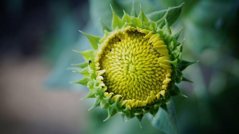 Sunflowers🌻 Sunflower Bud Sonyalpha Macro Nature Macro_flower Sonya58 EyeEm Nature Lover Nature Photography