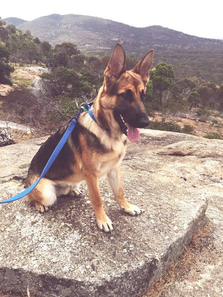 German shepherd My Boy You Yangs Park Gorgeous Puppy Nice View Beautiful Sunny Day