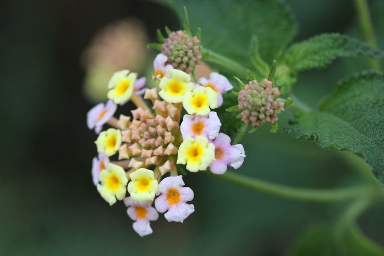 Flower Flowering Plant Freshness Plant Lantana Fragility Vulnerability  Beauty In Nature No People Growth Close-up Selective Focus Nature Petal Inflorescence Flower Head Leaf Day Plant Part Outdoors Bunch Of Flowers Flower Arrangement