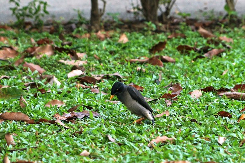 Animal Themes One Animal Animal Animal Wildlife Plant Vertebrate Animals In The Wild Bird Land Field Green Color Grass Nature Day Selective Focus No People Growth Black Color Outdoors Plant Part A Crested Myna Bird On The Green Grass