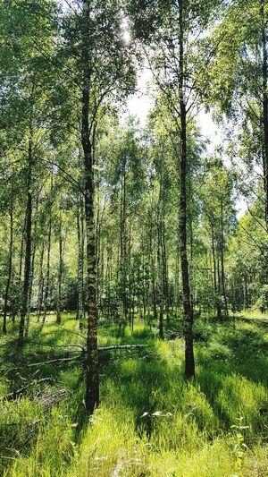 Birken Birch Birkenwald Forest Wald Skåne