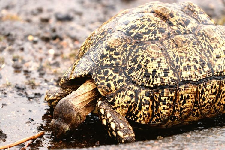 Reptile Tortoise Animal Wildlife Tortoise Shell Animals In The Wild Day One Animal No People Close-up Nature Portrait Eating Animal Themes Outdoors