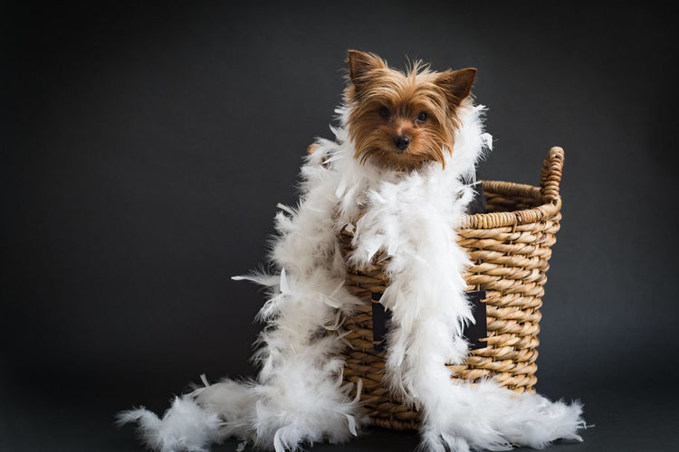 Portrait of yorkshire terrier with white feather boa in basket against black background