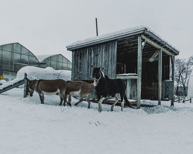 Horse standing on snow covered field against buildings