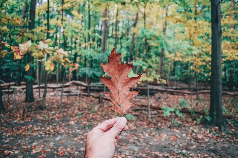 Person holding maple leaves