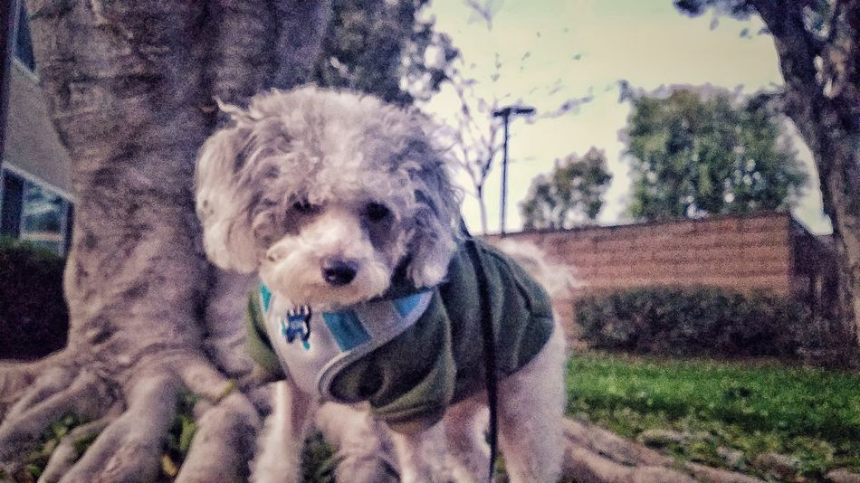 My hero! Pets Dog Portrait Tree Day No People Outdoors Pet Clothing Close-up Nature Galaxys7 Samsungphotography Poddle 🐩 Dogs_of_instagram Sky Dogphoto Dog❤ Dog Portrait Poddle Dog Photography Dogmodel Dogslife Doglover Dog Of The Day Lifedriven