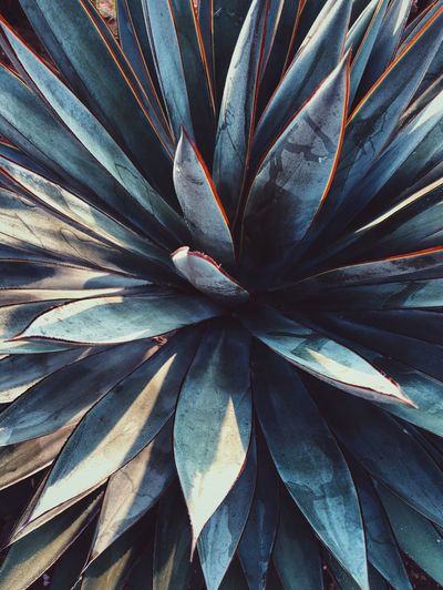 Closeup of a striking agave plant. Stylish Outside Garden Hot Succulent Cactus Agave Spikey Beauty In Nature Nature Full Frame Backgrounds Pattern Close-up No People Textured  Indoors  Growth Still Life Natural Pattern Creativity Day Plant Part Leaf Design Abstract