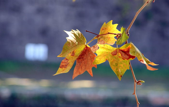 Autumn colors Autumn Colors EyeEm Nature Lover EyeEm Gallery Autumn Beauty Beauty In Nature Change Close-up Colorful Colorful Nature Contrast Day Eye4photography  Fall Focus On Foreground Leaf Leaves Maple Maple Leaf Nature No People Outdoors Sprig Twig Water