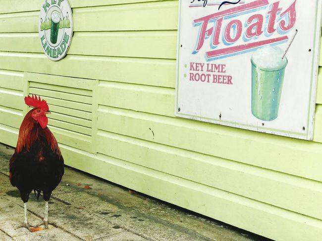 Limegreen Bird Animal Themes Animal Vertebrate Chicken - Bird Text No People Chicken Domestic