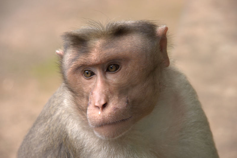 Close-Up Of Monkey At Periyar Tiger Reserve