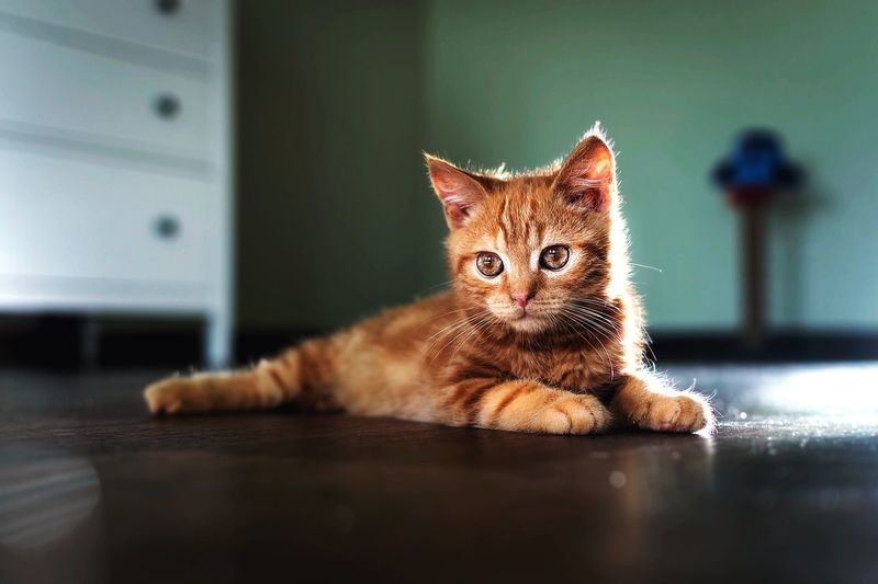 Portrait of ginger cat on floor at home