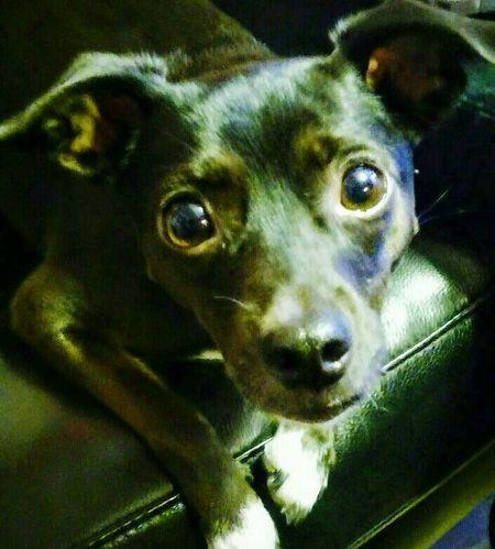 Valentina! BlackDog Blackdogs Blackdogsofinstagram Dogs Dog Dogs Of EyeEm Dogoftheday Dogeyes Blackeyes Big Eyes
