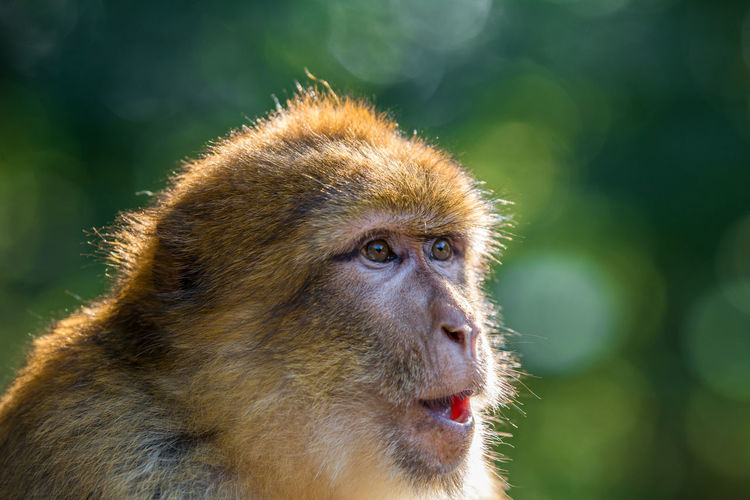 Close-up of barbary macaque on sunny day