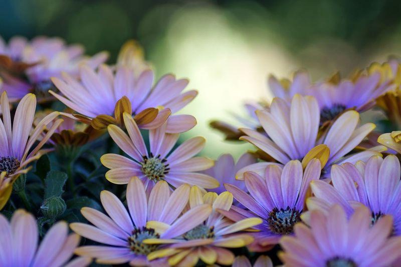 OsteosperMum Fruticosum trailing African Daisy shrubby dAisybush PurpleOsTeospermumflower Osteospermum OsteosperMum Flower Head Daisybushes daisybusHes No People Close-up Multi Colored