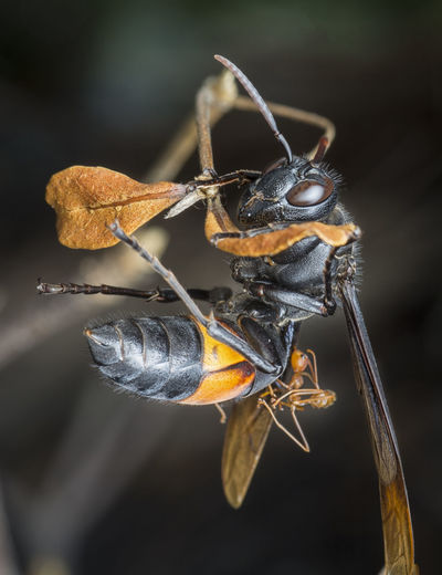Black and yellow hornet