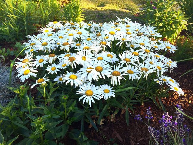 White daisies Flowers Flowers,Plants & Garden Flower Photography Daisys Flowers Blooming Day
