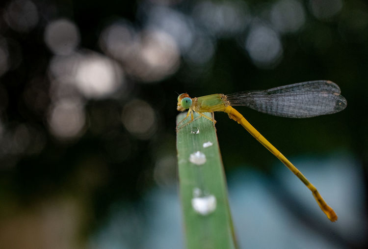 Closeup of damselfly with bookeh in background