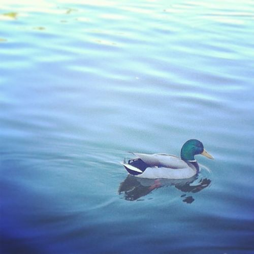 Happy Duck :)