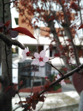 Cherry Cherry Blossom Flower Nature Nature_collection Spring Spring Flowers Cerezo Flor De Cerezo Sakura Mobilephotography Bqm5 Nofilter Noedit