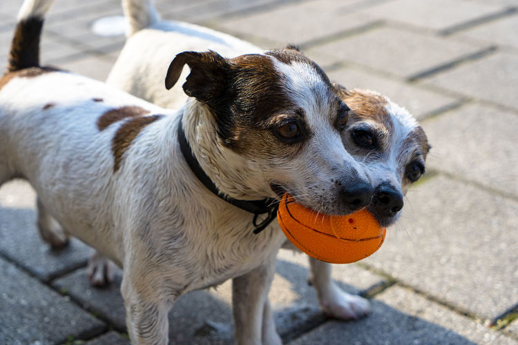 fight for ball Footpath Day Focus On Foreground No People Ball Vertebrate High Angle View One Animal Animal Themes Domestic Animals Mammal Dog Canine Paving Stone Outdoors City Portrait Domestic Pets Animal Standing Jack Russell Terrier Animal Head