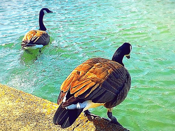 Waddle, waddle 🐤 Wildlife Water Shadow Lake Beak Fresh On Eyeem  Nature Lakeside Beauty In Nature Ducks Sunshine Tranquility Swimming Time Quack Quack At The Park Reflections In The Water Animal Themes Waddle Focus On Subject Outdoors City Park Daylight Join Me Two Ducks Animal