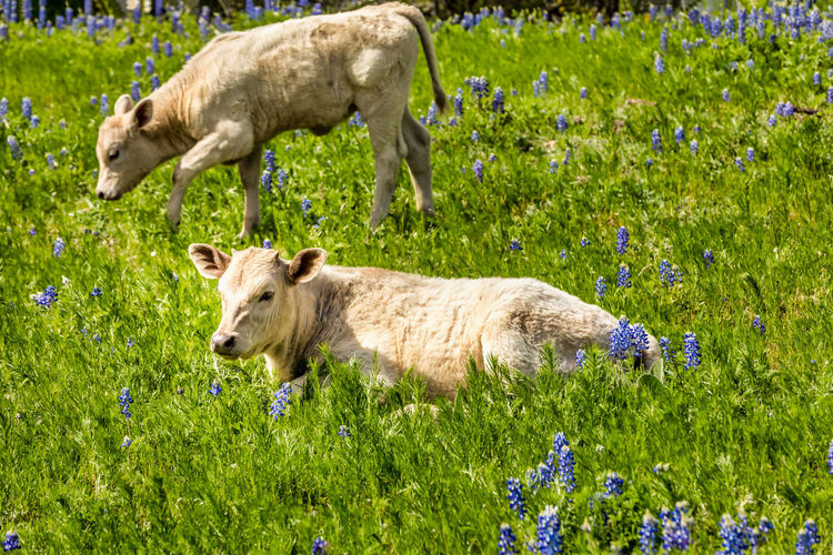 Calfs in Texas on a meadow with blue bonnets Calf Calfs Blue Bonnets Blue Bonnet Flowers Spring Springtime Texas Texas Hill Country Hill Country Livestock Cattle Cold Temperature Cows Rural Scene Meadow Lush Green Mammal Animal Animal Themes Plant Grass Group Of Animals Field Domestic Animals Nature Domestic Land Pets Two Animals Green Color Young Animal Animal Wildlife Day No People Side View Outdoors Animal Family