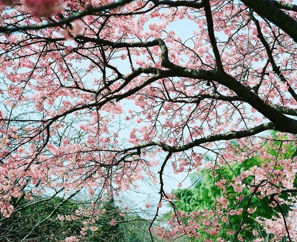 桜色と青空 Film Photography 120 Film PENTAX67 Filmcamera EyeEm Best Shots Sakura Flowers Sakura_collection Sakura2016 Flowerporn