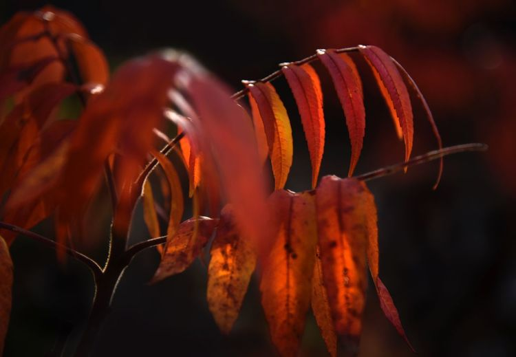 Like Fire Orange Red Autumn Leaves Autumn colors Autumn Close-up Focus On Foreground No People Plant Beauty In Nature Growth Orange Color Freshness Leaf Nature Selective Focus Plant Part Outdoors