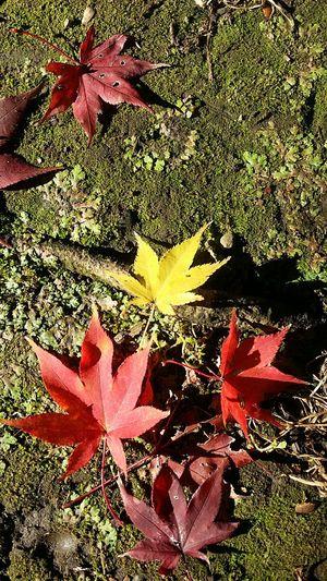 Leaves On Ground Leaves On Moss Maple Leaves Colourful Leaves Fallen Leaves Autumn Leaves Tokyoautumn Tokyoautumn2016 Shinjuku Gyoen National Garden Tokyonature Autumn Colours Japannov2016 Japan .